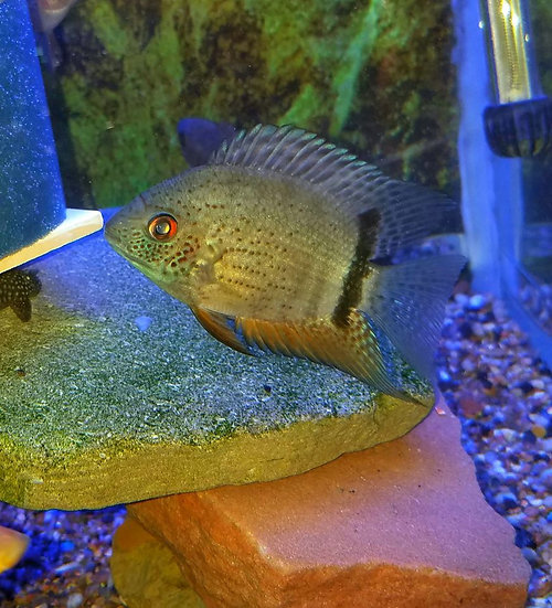 Red Spot Turq Severum 2.75-3""