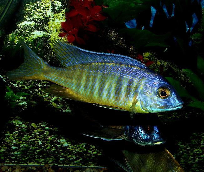 Placidochromis electra Makonde
