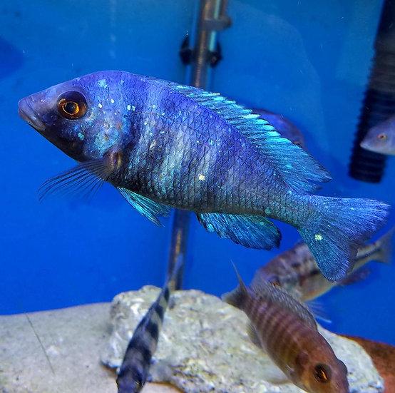 "Placidochromis Phenochilus ""Sapphire Star"""