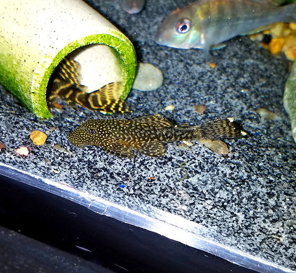 "Lemon Drop Ancistrus 1""+"