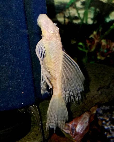 """LF Albino bushynose 3.5"""" Female"""