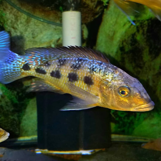 "Fossorochromis rostratus ""Malawi sand diver"""