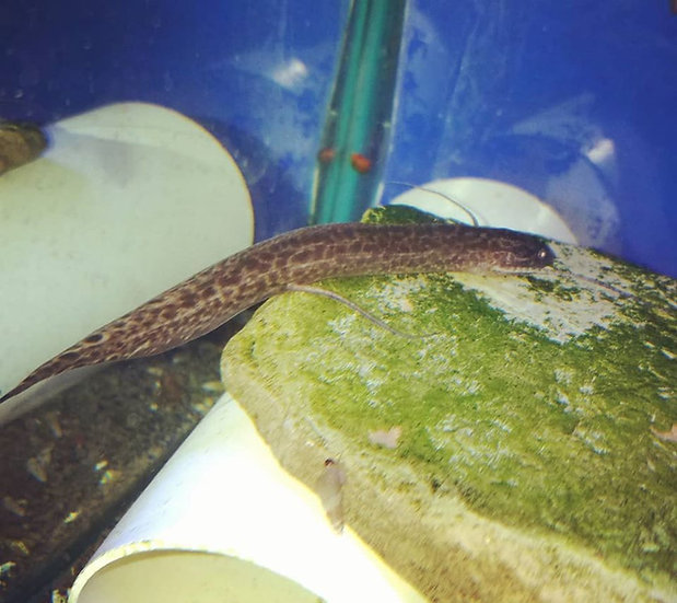 """Marbled Lungfish 4"""""""