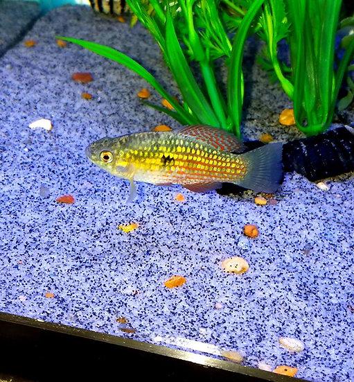 "American Flag Fish 1.5"""
