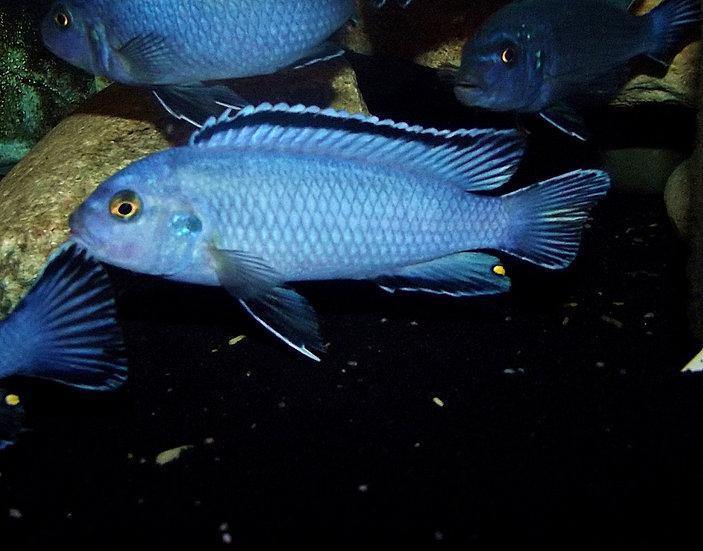 Pseudotropheus socolofi powder blue
