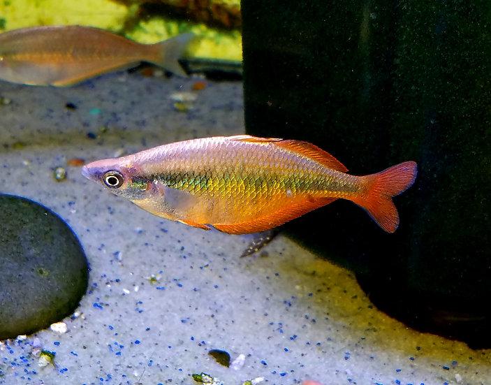 """Sentani rainbowfish 3""""+ pair"""