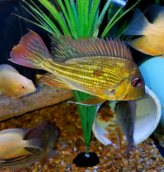 Geophagus Winemilleri 3""