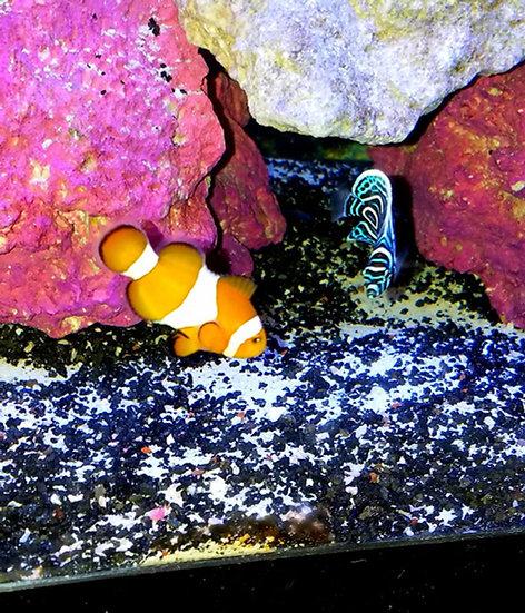 "Ocellaris Clownfish 3""+"