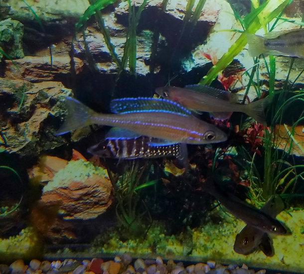 Paracyprichromis Nigrippinis F1