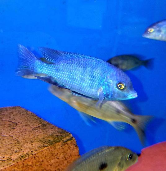 """Cyrtocara moorii """"Blue Dolphin """""""