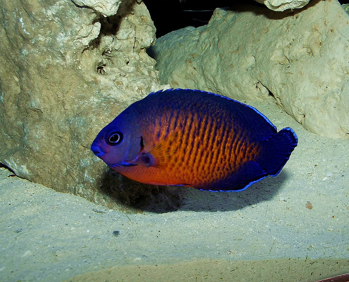 Coral Beauty Angelfish 2.25""