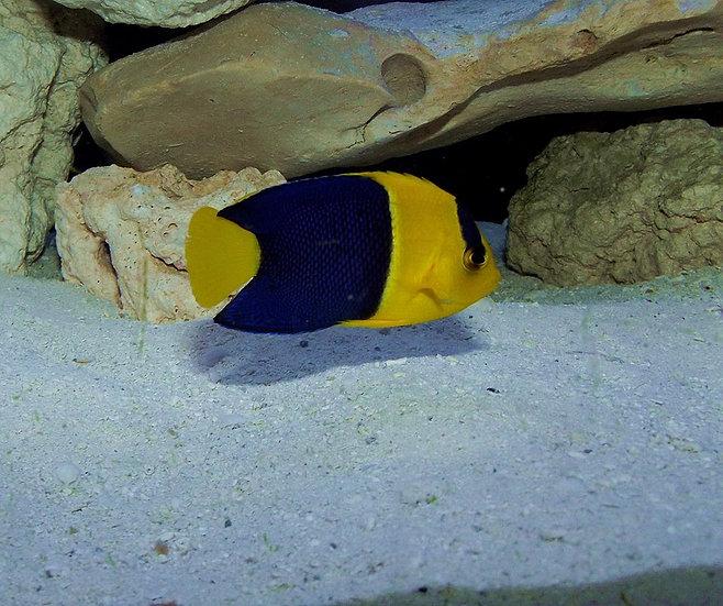 "Bicolor Angelfish 3""+"
