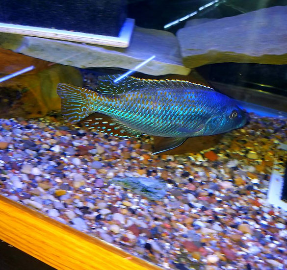 Nimbochromis fusco