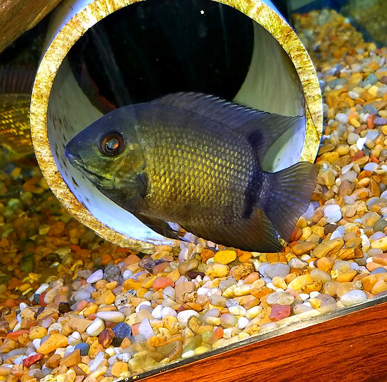 Green Severum 2.25-3""