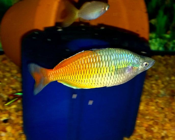 "Bosemani Rainbowfish 2.75-3"" PR"