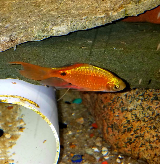 Longfin Rosy Barb 2.5-3""