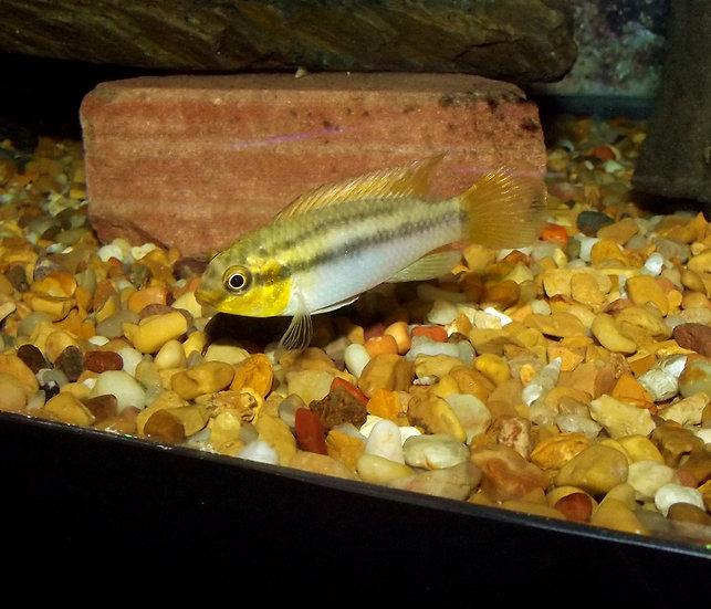 """Pelvicachromis silviae 2-3"""""""