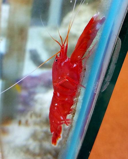 """Red Pistol Shrimp 2.75"""""""