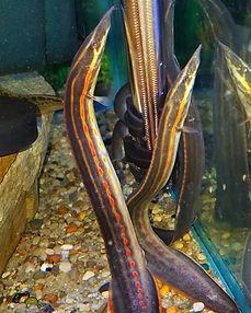 Fire eel.jpg