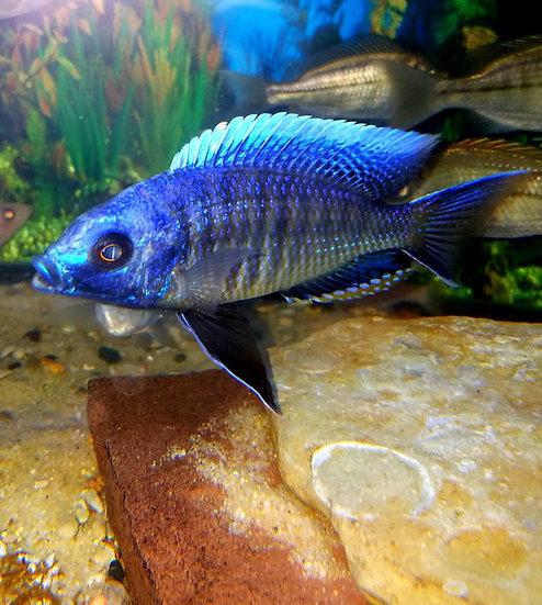 Nyassichromis boadzulu