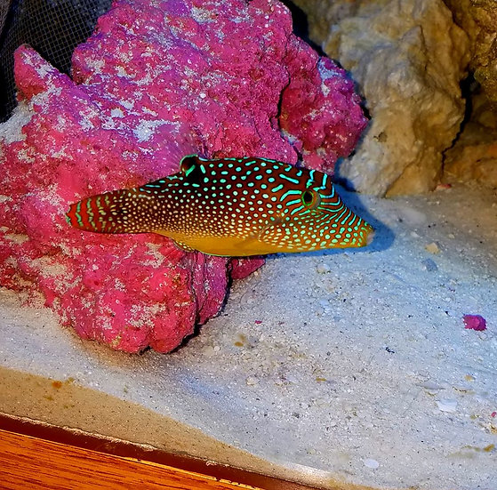 Blue Spotted Puffer 3.5""