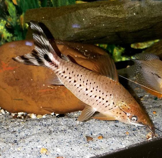 """Flagtail porthole catfish 3.5-4"""""""