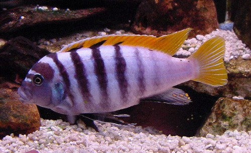 "Metriaclima Prysonatus ""Red Top Zebra"""