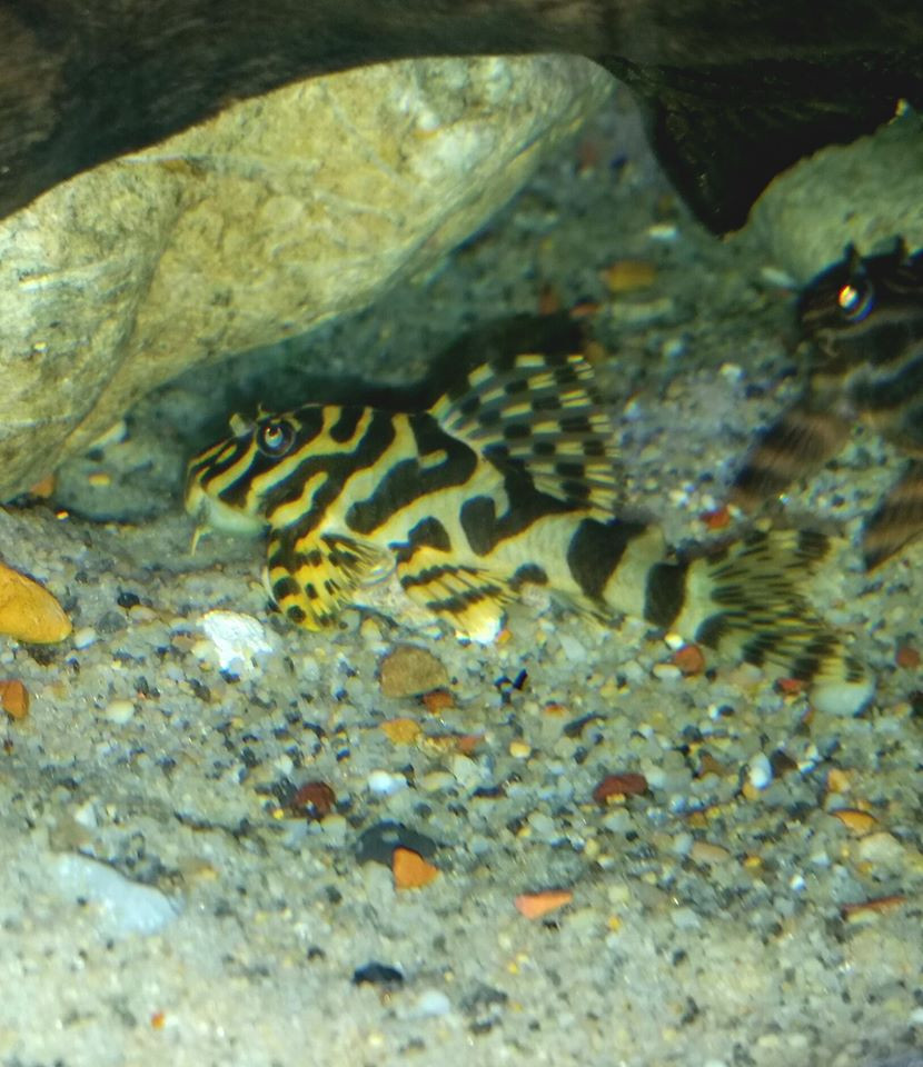 Imperial frog leopard pleco L134