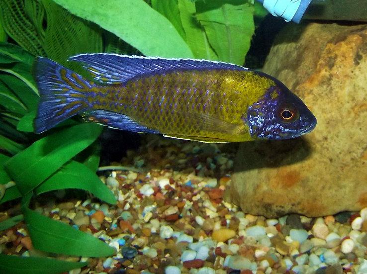 Aulonocara Blue Neon Hai Reef
