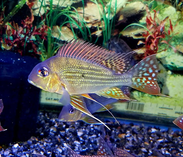 "Geophagus Altifrons 4.5""+"