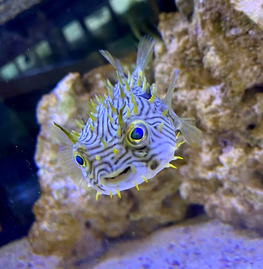 """Spiny Puffer 4"""""""