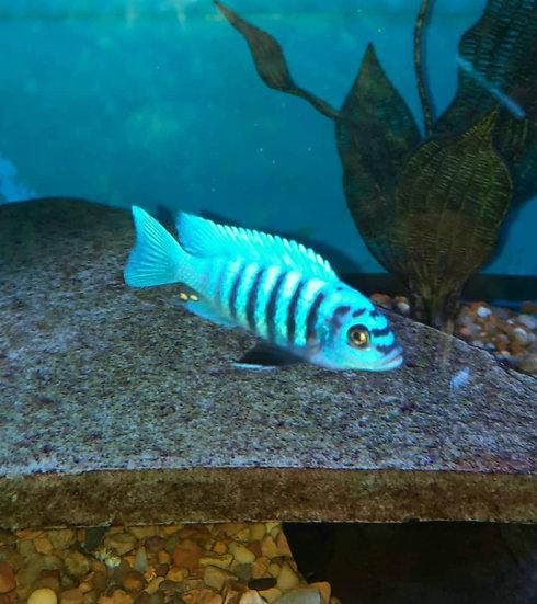 """Metriaclima """"Zebra Chilumba"""" Masoni Reef"""