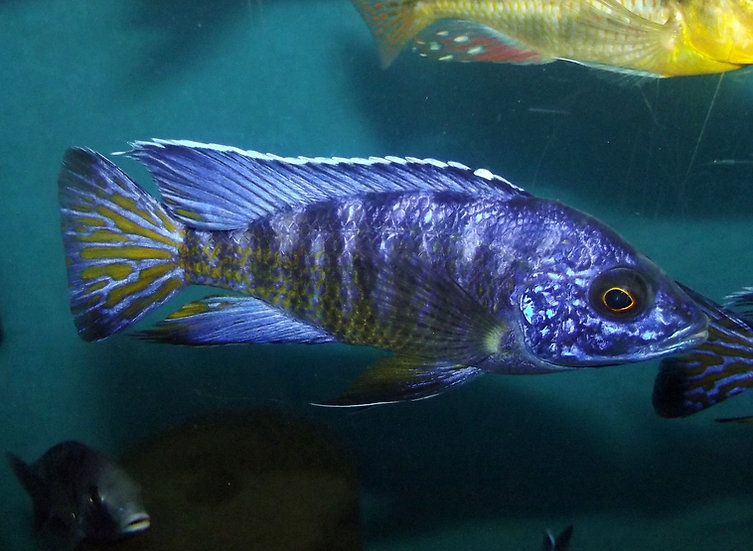 "Aulonocara Koningsi ""Blue Regal"""