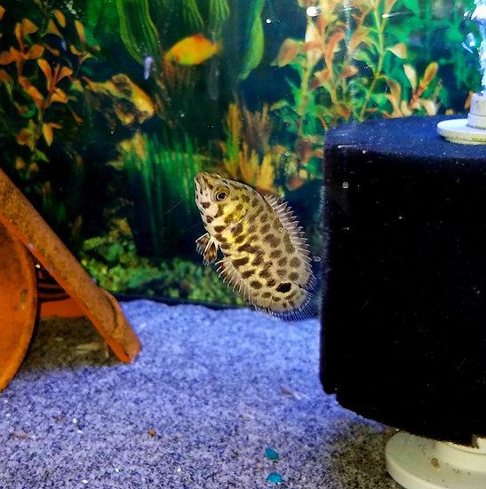 """Ctenopoma Leopard Leaf 1"""""""