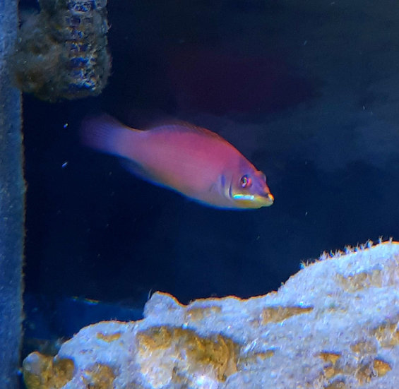 """Disappearing Wrasse 2.75"""""""