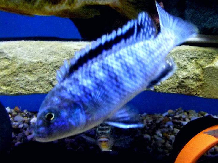 Melanochromis exasperatus