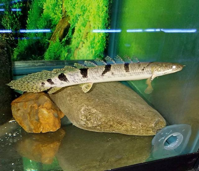 """Polypterus delhezi 7.5-8"""""""