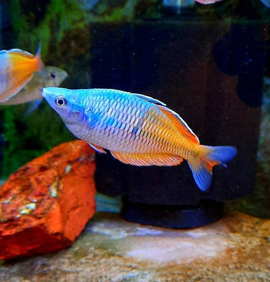 """Bosemani Rainbowfish 3""""+MALE"""