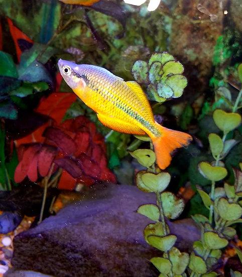 """Yellow Rainbowfish 2.5"""" Pair"""