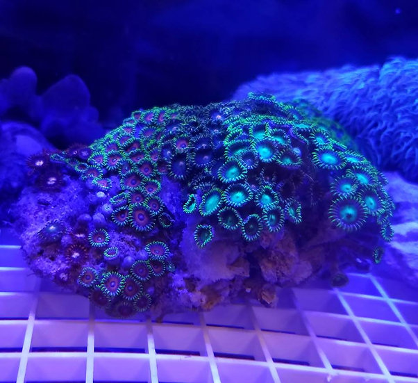 Colored zoanthid colony 8""