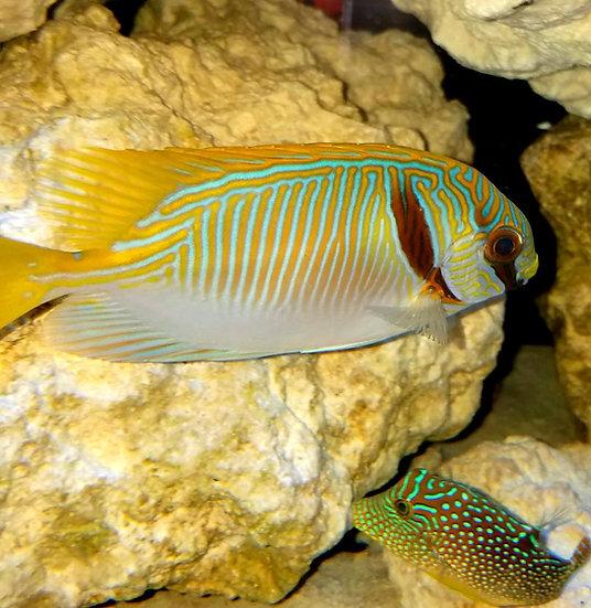 """Blue and Gold Rabbitfish 2.5"""""""
