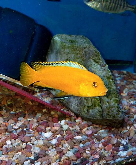 "Labidochromis ""Ruware"""