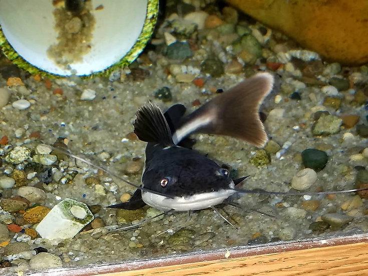 "Red Tail Catfish 5-6"""