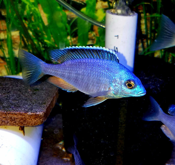 Placidochromis Electra Blue Hongi Island Top Shelf Aquatics