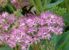 Bee Plant of the Month - October 2020