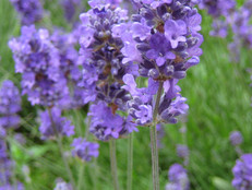 Bee Plant of the Month - July