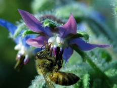 Bee Plant of the Month - August 2020