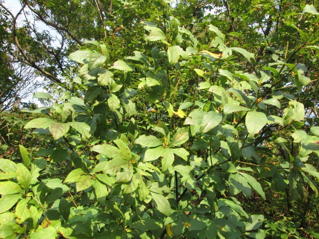 13. クロモジの木