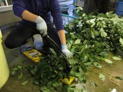 14. 染料を取る植物を採ってきたら刻みます。