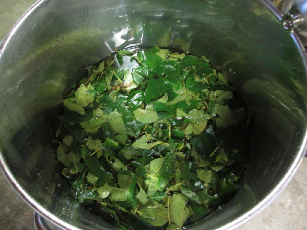 15. 植物を煮て、染料を煮出します。